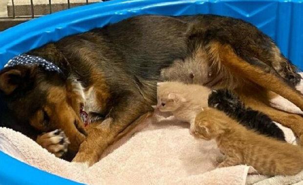 Štěňata australského ovčáka zemřela, ale osiřelá koťata dokázala utěšit svou zničenou matku