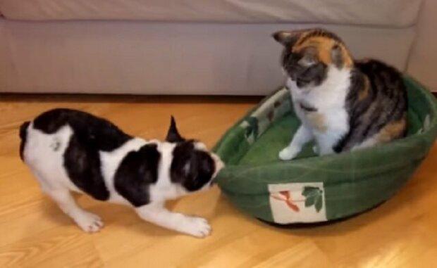 Reakce psa je zábavná, když velmi tvrdohlavá kočka odmítne opustit psí pelech