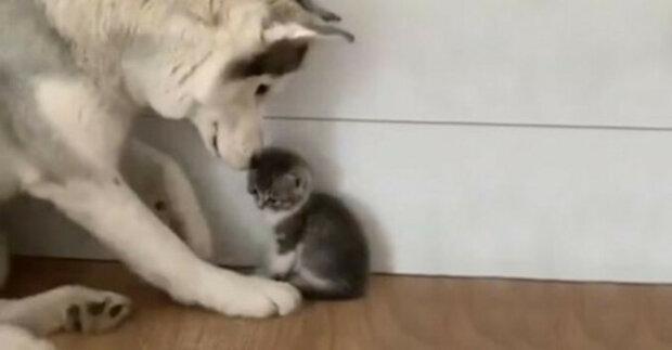 Husky setkání s malým kotětem. Dojemné video