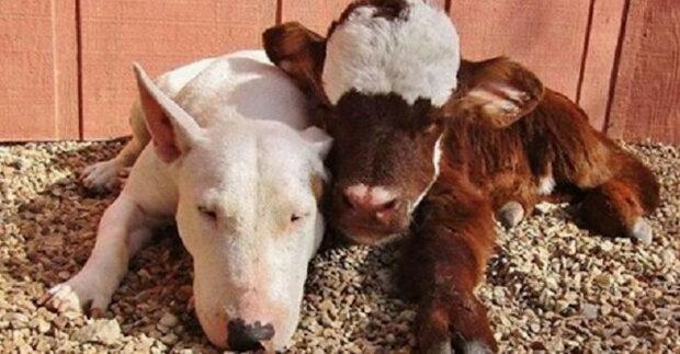 Zachráněná kráva žije v domě s 12 psy a myslí si, že je stejná jako oni