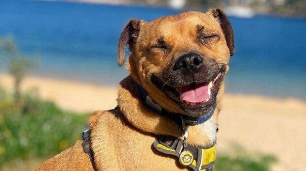 """""""DiCaprio odpočívá"""": pes parodoval chůzi svého corgi kamaráda"""