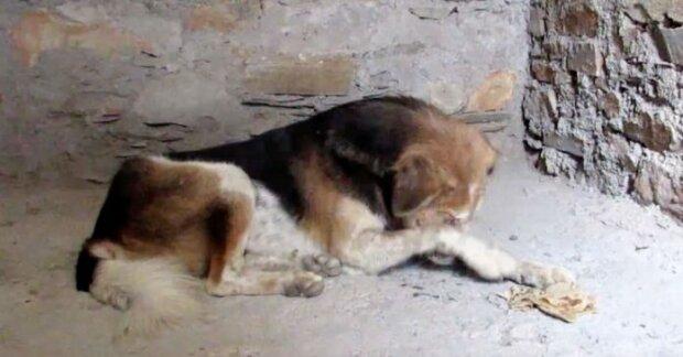 Pes neustále schovával tlamu za tlapami. Když k němu přišli zachránci blíže, doslova je to zaskočilo