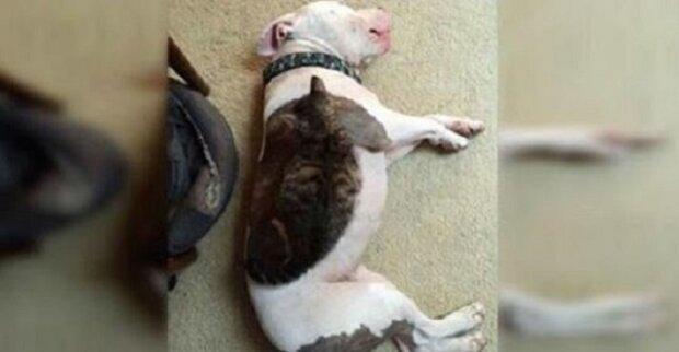 To, co ta fena plemena pitbull udělala pro jiné zvířata, je opravdu hezké